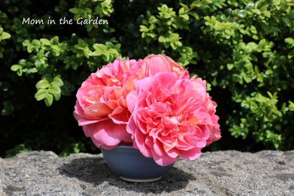David Austin 'Boscobel' roses