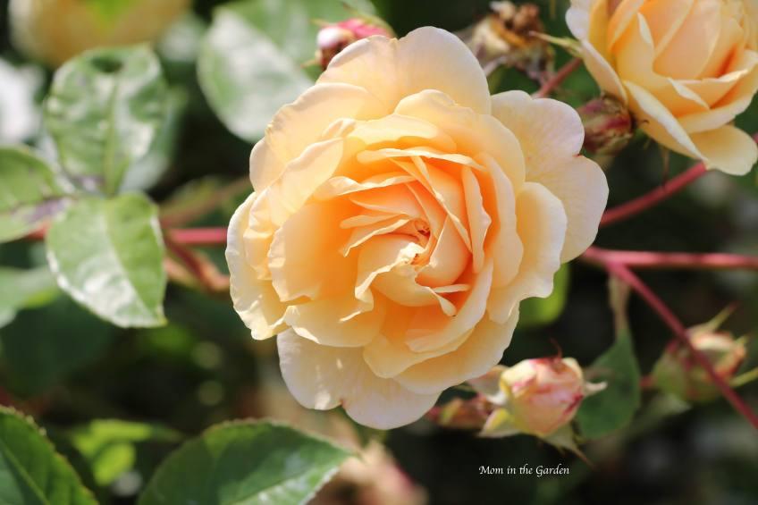 David Austin 'Teasing Georgia' Rose July