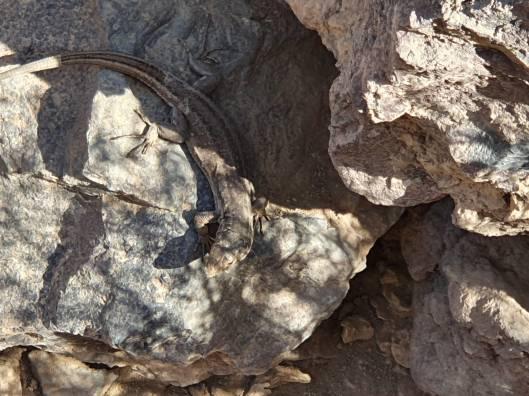 Barranco del Infierno lizard
