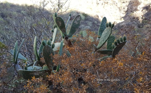 Barranco del Infierno cactus with babies