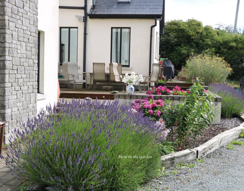 lavender bed July 20