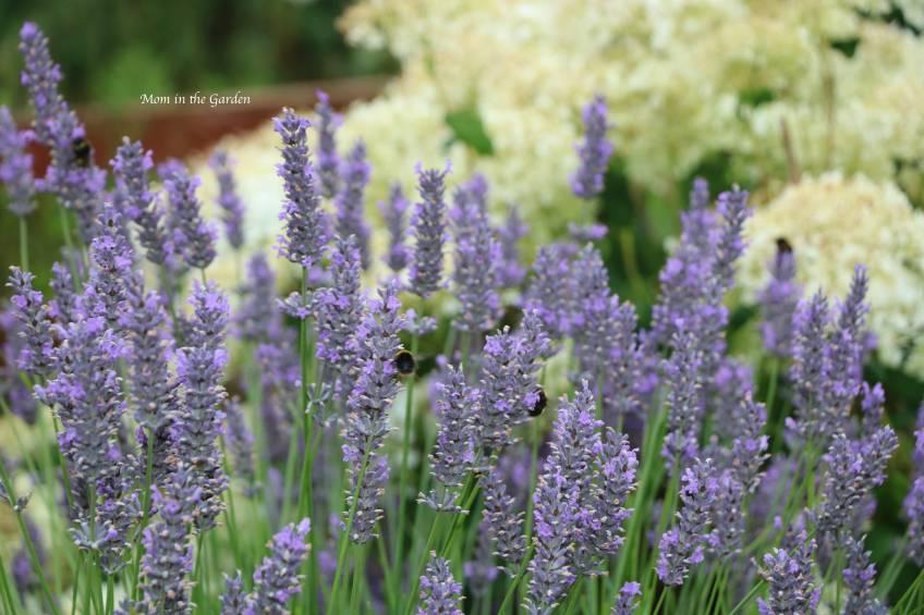 Lavender + bees + hydrangea