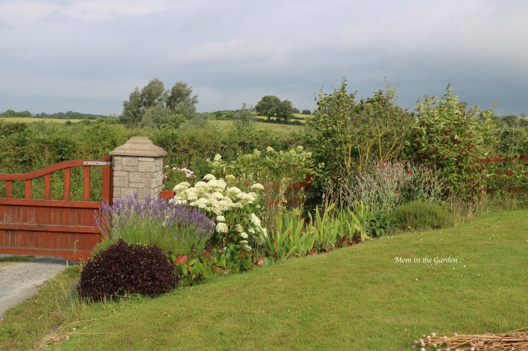 our front Gate garden with hydrangea, lavender in late July