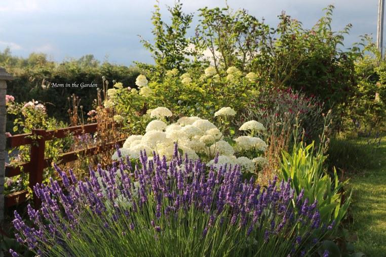 Lavender, Hydrangea Incrediball in evening sunlight