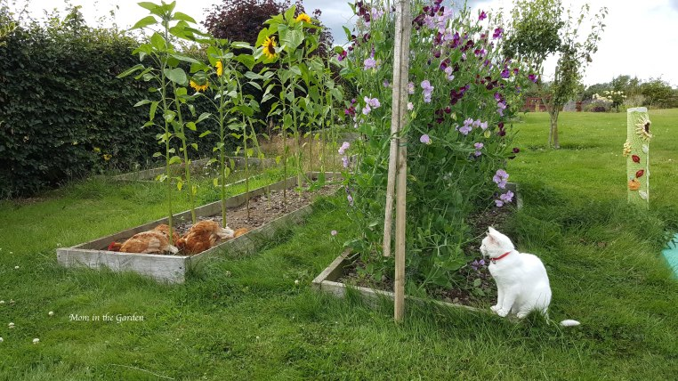 Chickens in the sunflower bed with kitty watching them