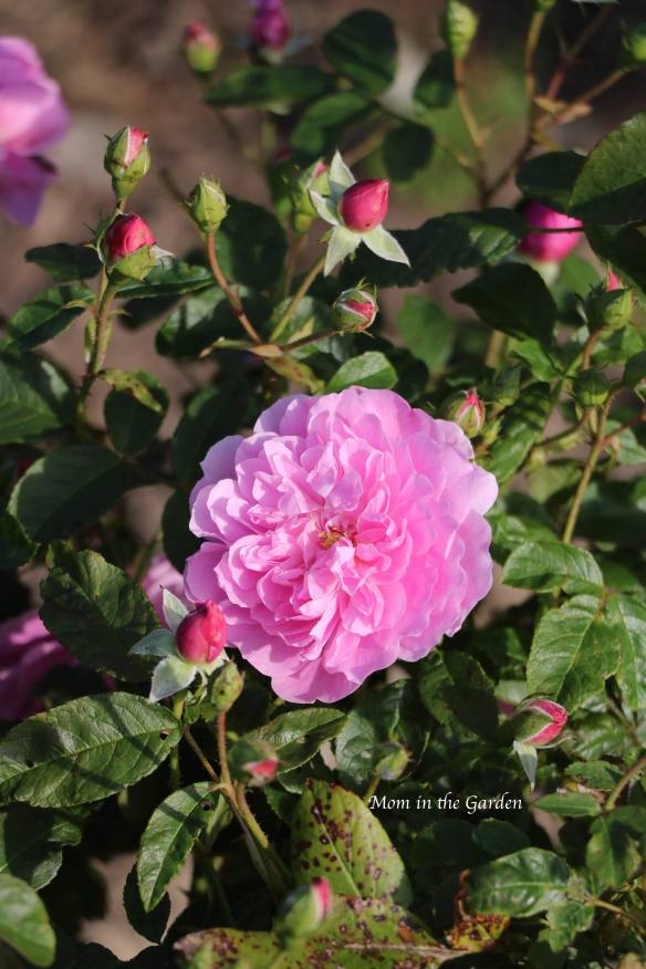 A medium pink David Austin Rose (Harlow Carr)