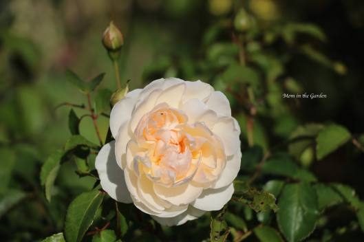 Lichfield Angel David Austin Rose