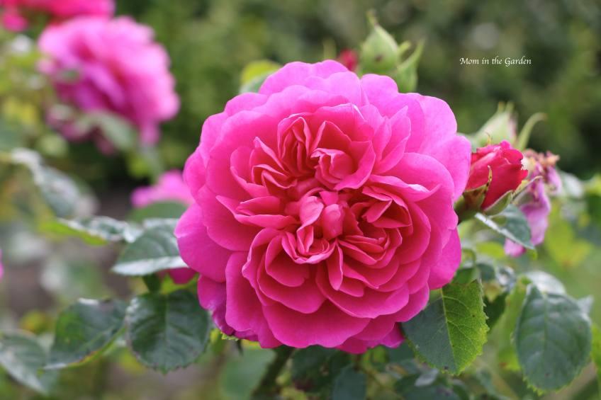 Gertrude Jekyll - David Austin Rose