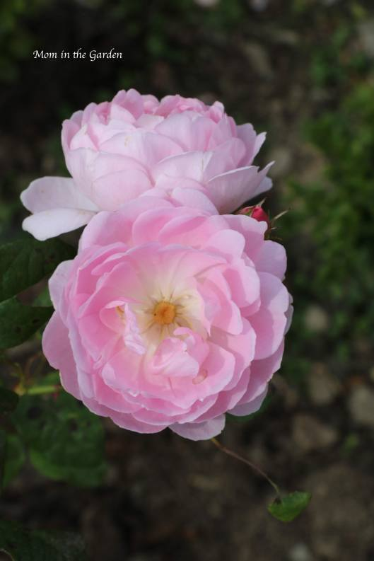 A light pink David Austin roses (Scepter'd Isle)