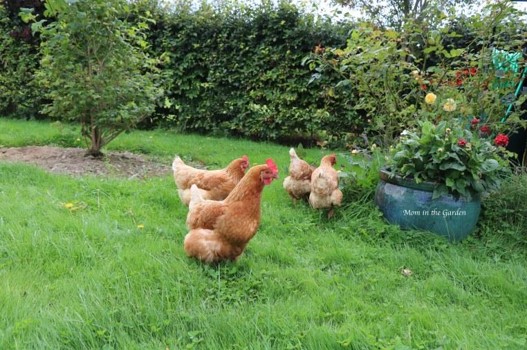 four chickens in the garden