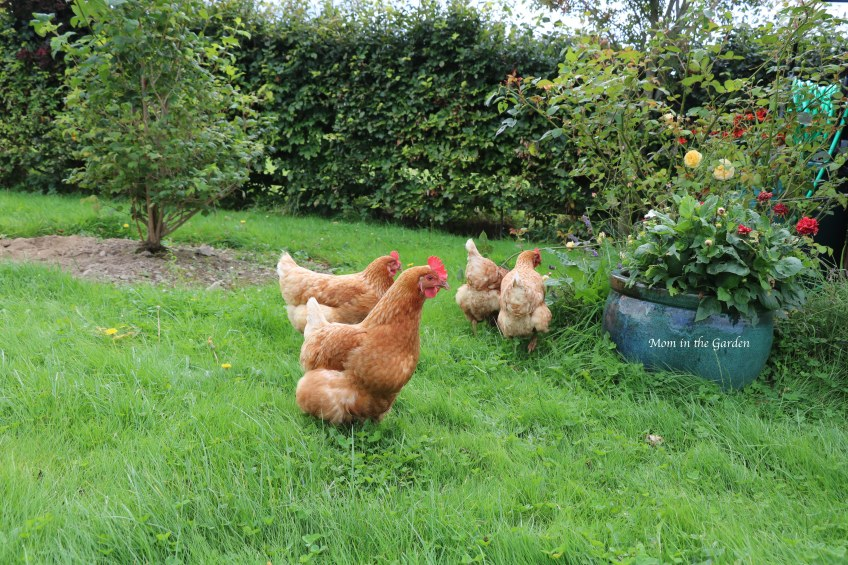 four chickens in the garden