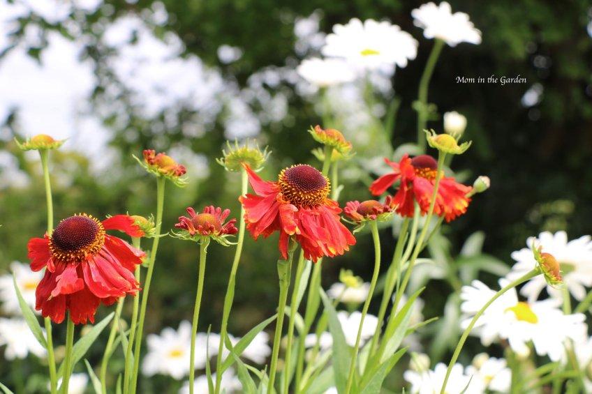 helenium + daisies