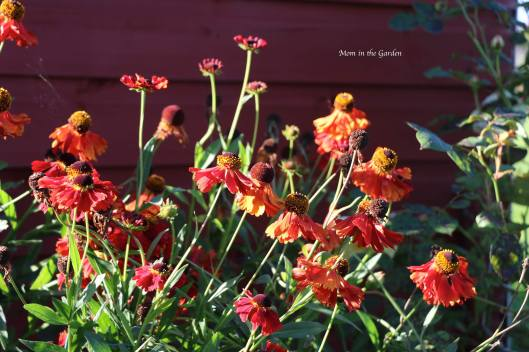 Helenium Moerheim Beauty Sept 18