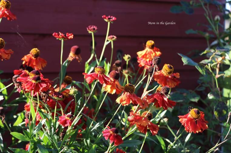 Helenium Moerheim Beauty Sept 18