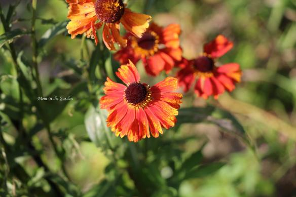 Helenium Sep 19 upclose