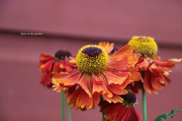 Helenium up close Jul 29