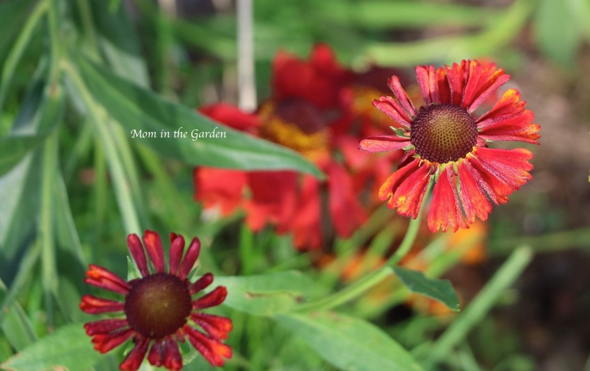 helenium young Aug 27