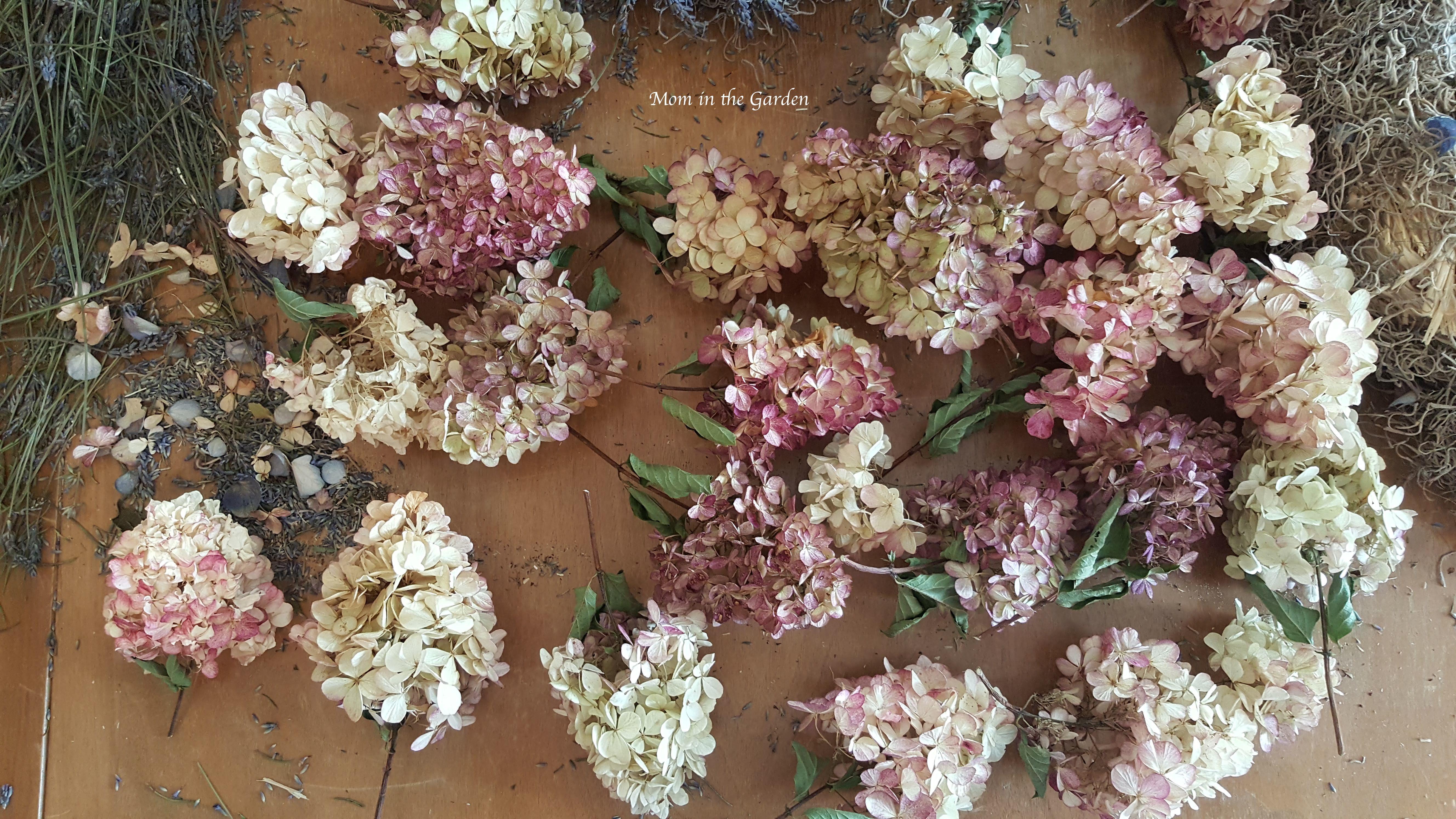 hydrangea paniculata flowers