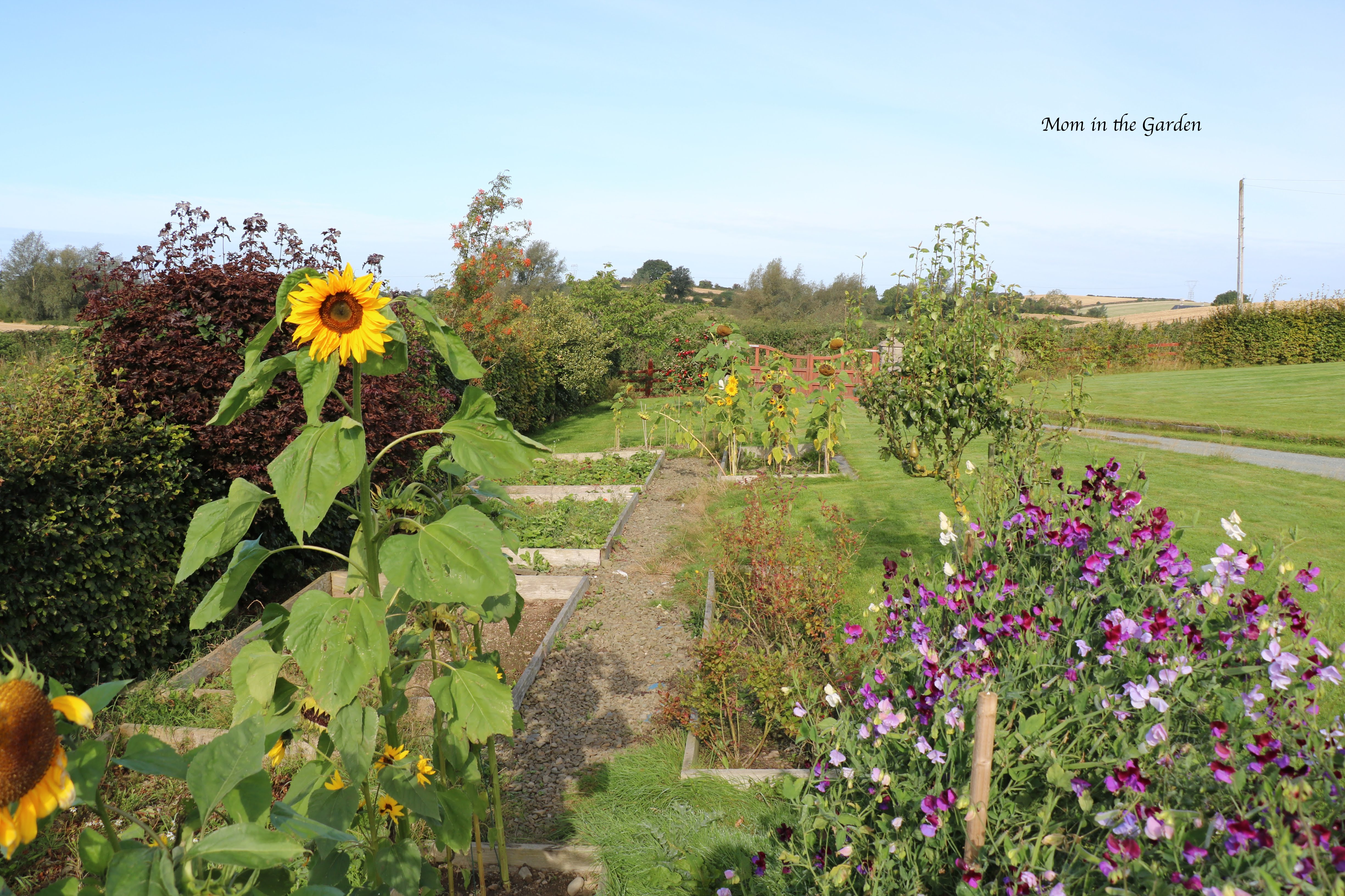 Ladder view of sunflowers + sweet pea + apples Sept 10