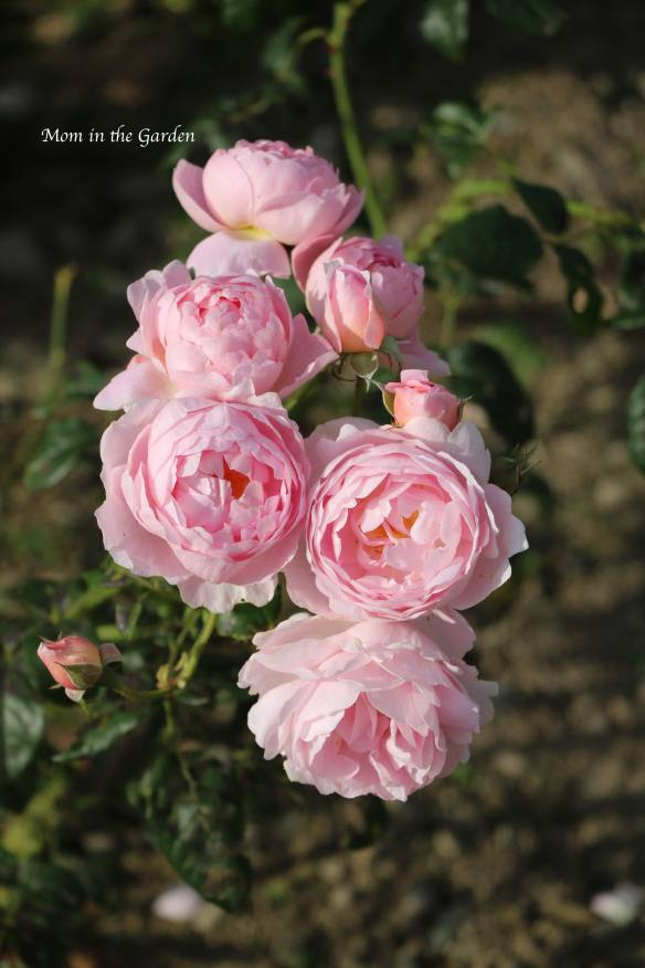A cluster of light pink David Austin roses (Scepter'd Isle)