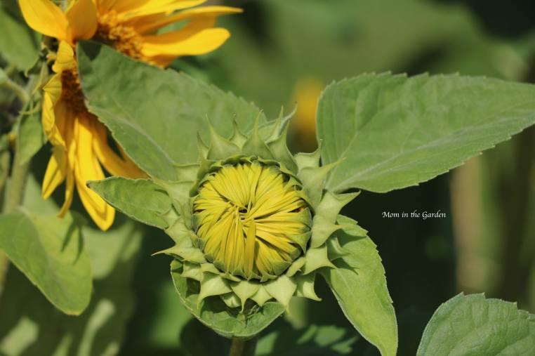 Sunflower closed Aug 31