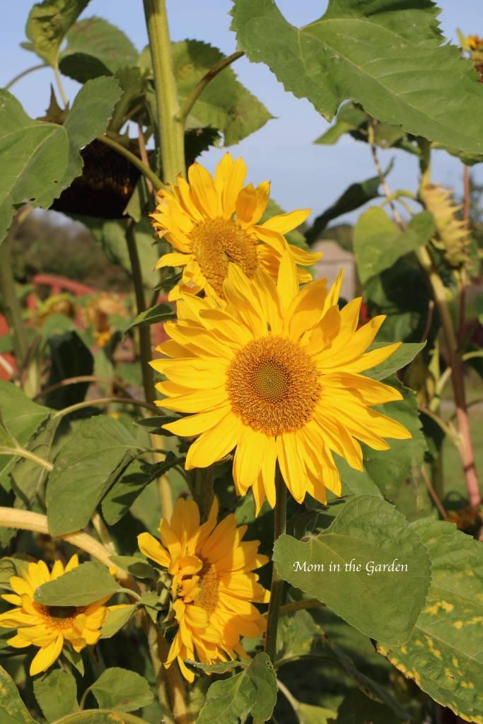 Sunflower cluster Sep 10