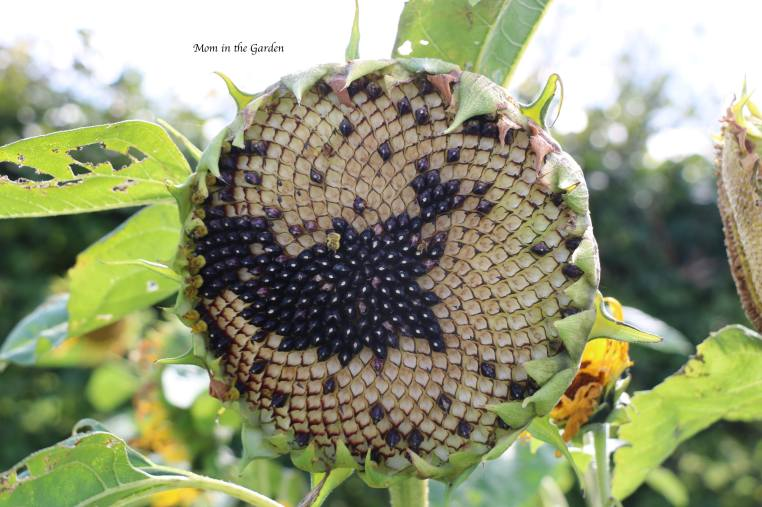 Sunflower head with missing seeds Sep 7