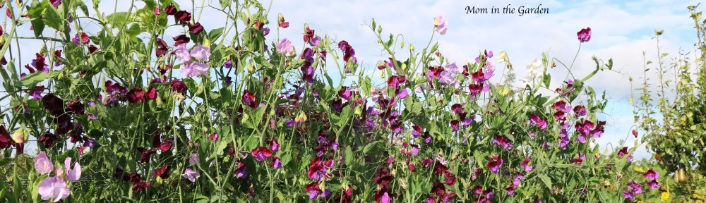Sweet pea blue sky Aug 31