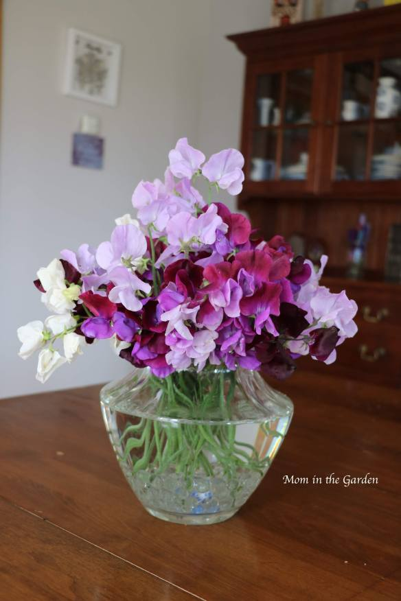 Sweet pea + clear vase Aug 19