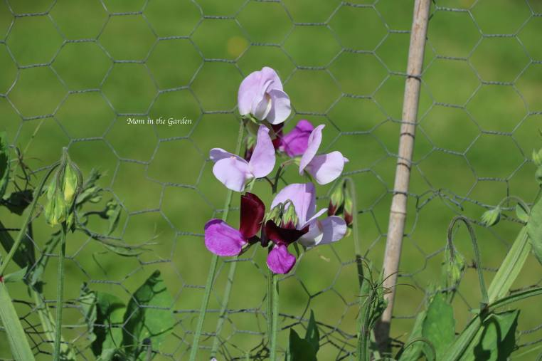 Sweet pea close up July 22