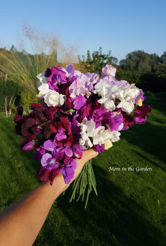 Sweet pea hand bouquet Aug 26