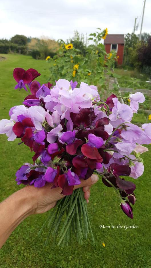 Sweet pea hand bouquet Aug 9