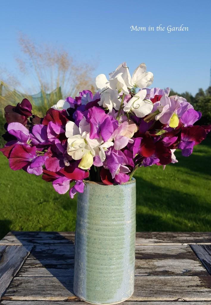 Sweet pea in vase Aug 26