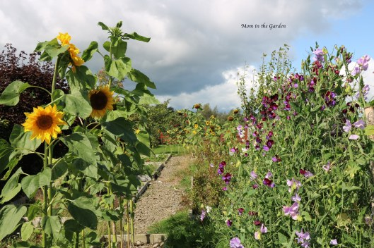 Sweet pea + sunflowers + full garden view Aug 31