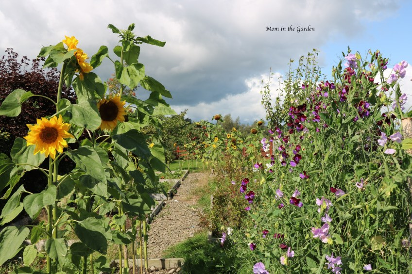 Sweet pea + sunflowers + full garden view Aug 31