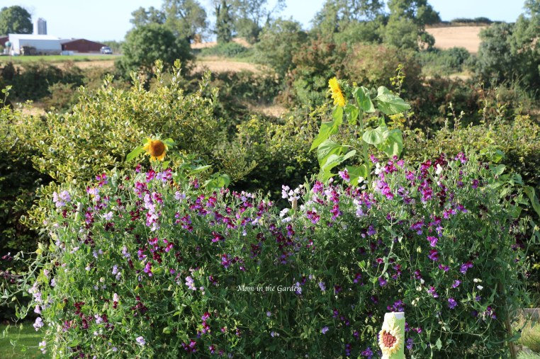 Sweet pea + sunflowers Sept 10