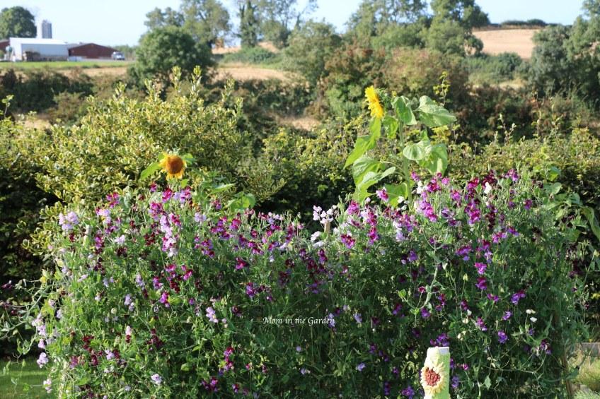 Sweet pea + sunflowers Sept 10