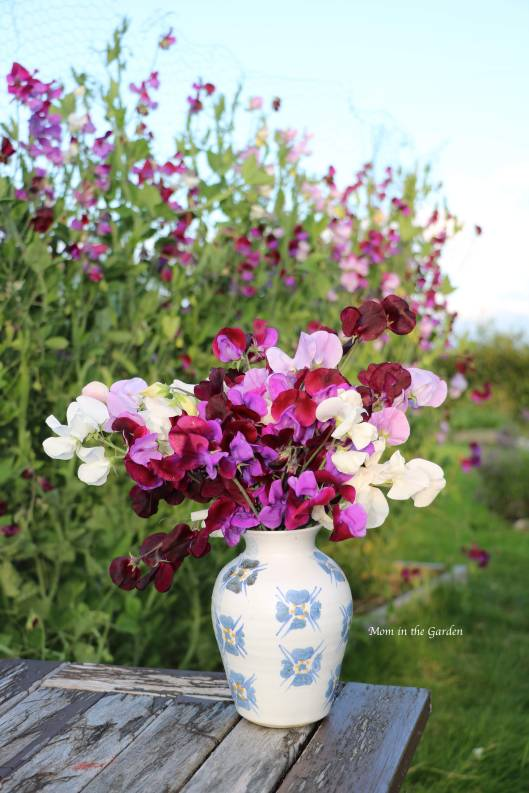 Sweet pea Aug 7