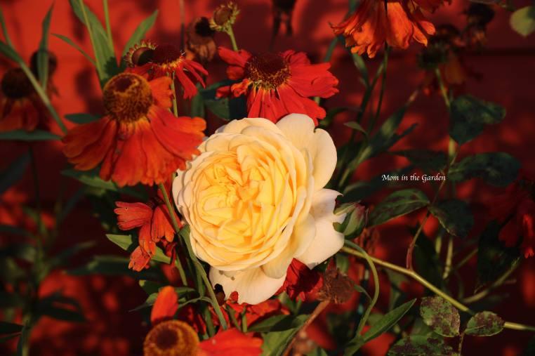 Yellow David Austin Rose + Helenium morning sun Sept 21