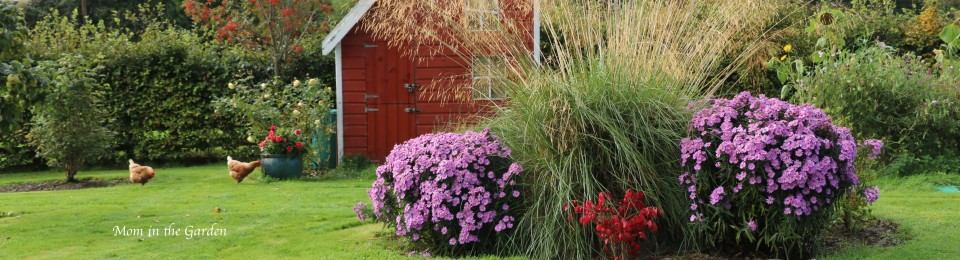 Fall view of garden Asters Burning Bush Ornamental Grass Chickens Rowan tree