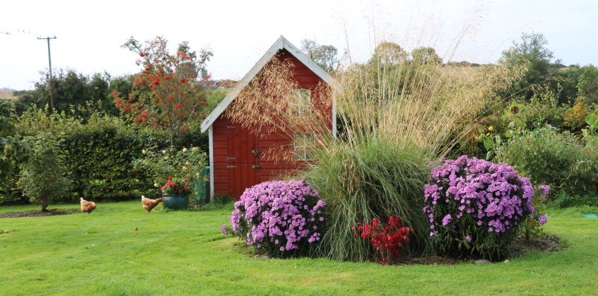 fall view of the garden with asters and ornamental grass and chickens