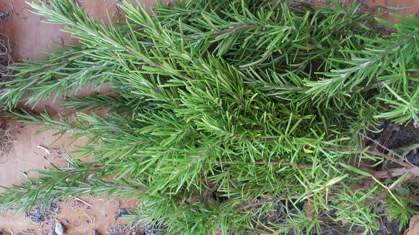 Rosemary from my garden