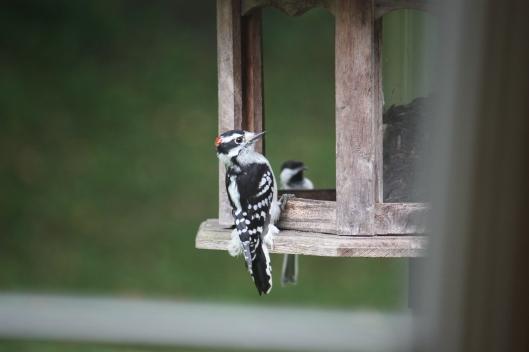 Aug 2015 bird at Betty's feeder