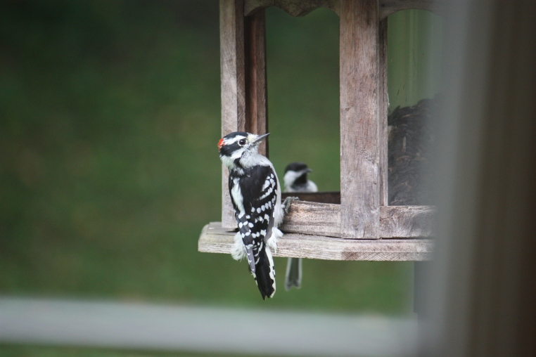 Aug 2015 bird at Betty's feeder