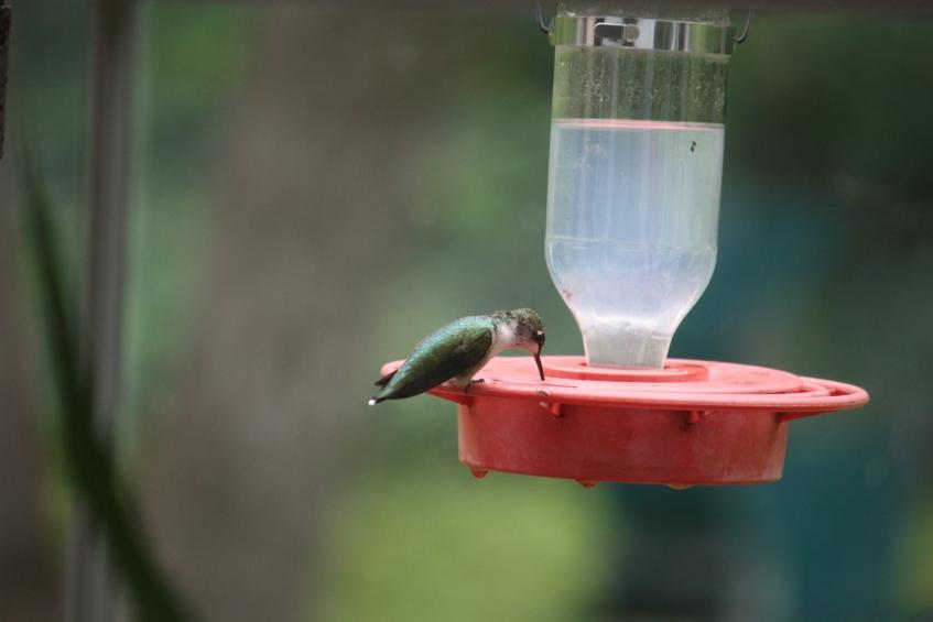 Aug 2015 hummingbird drinking at Betty's window