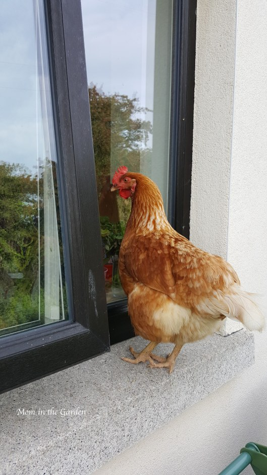 chicken looking in window Sept