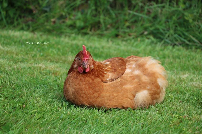 Chicken on grass resting May