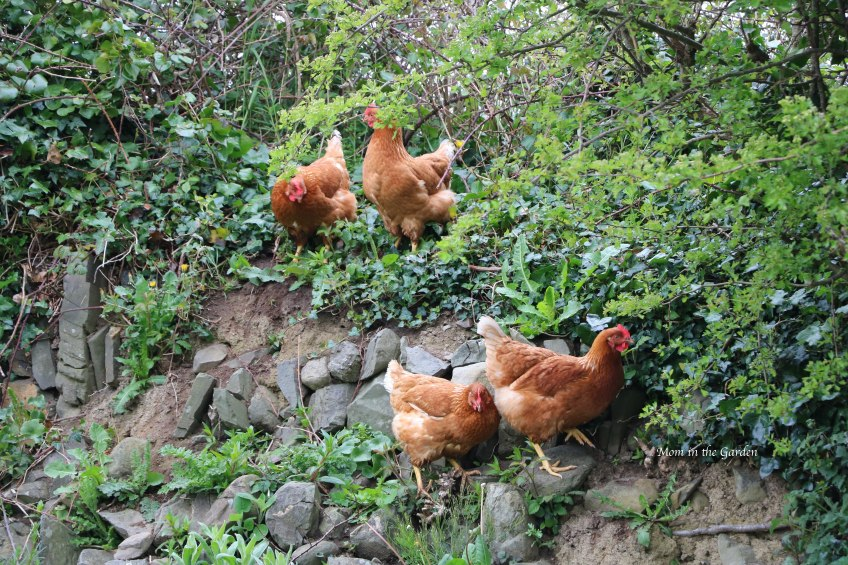 Chickens climbing ditch wall hill