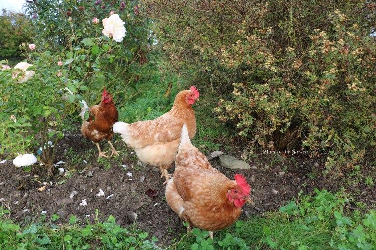 Chickens in Rainbow garden Oct 15