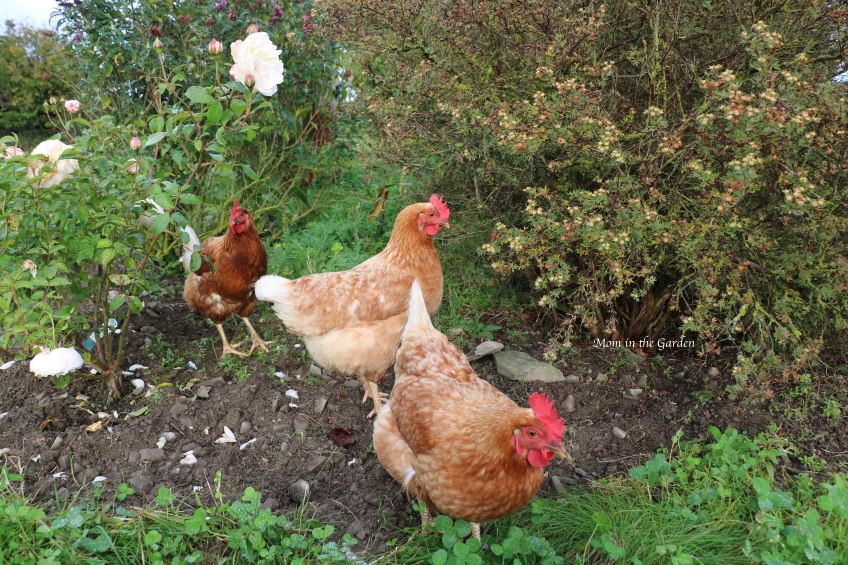 Chickens in Rainbow garden Oct 15